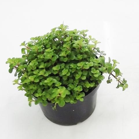 Brilhantina Verde<br>pote 11 cm