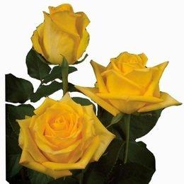Rosa Mohana 40 cm <br>maço com 18 hastes