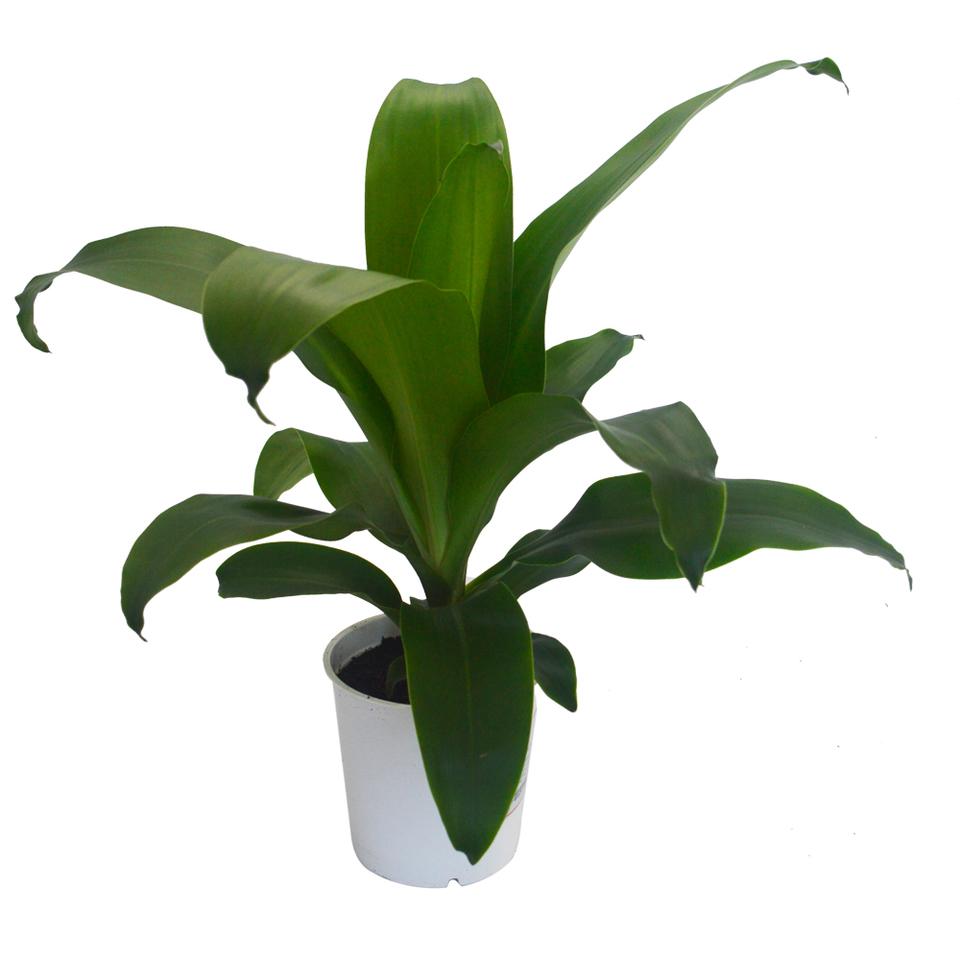 Dracena Fragrans pote 12 cm