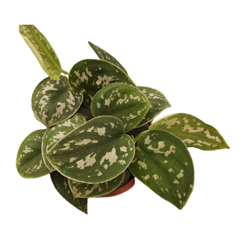 Scindapsus cuia 13 cm