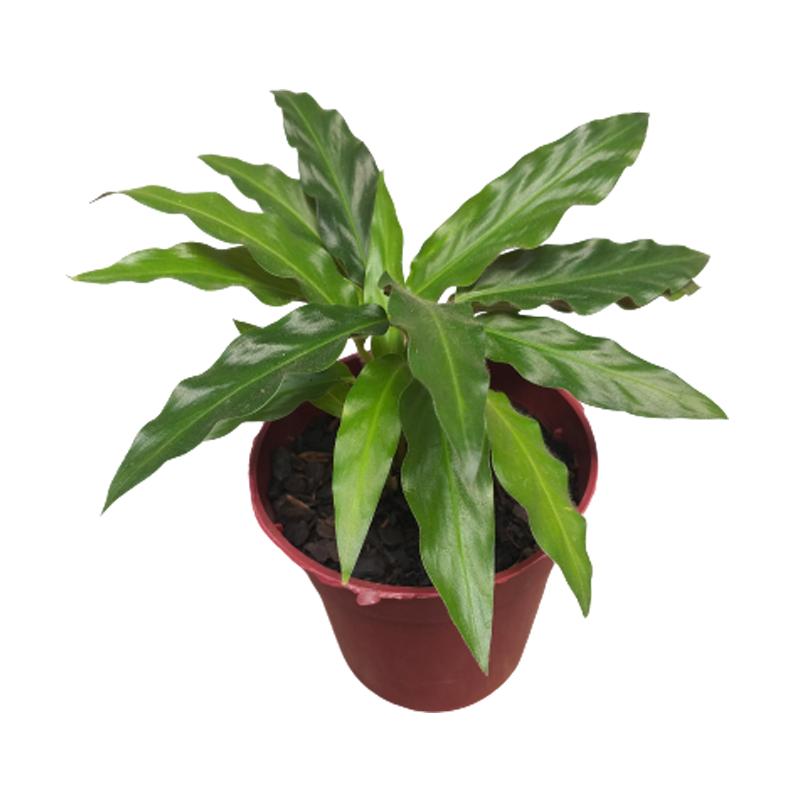 Calathea Rufibarba pote 12 cm