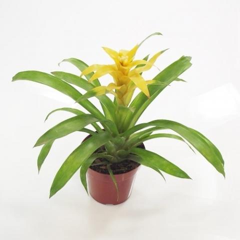 Bromélia Guzmânia Amarela<br>pote 14 cm