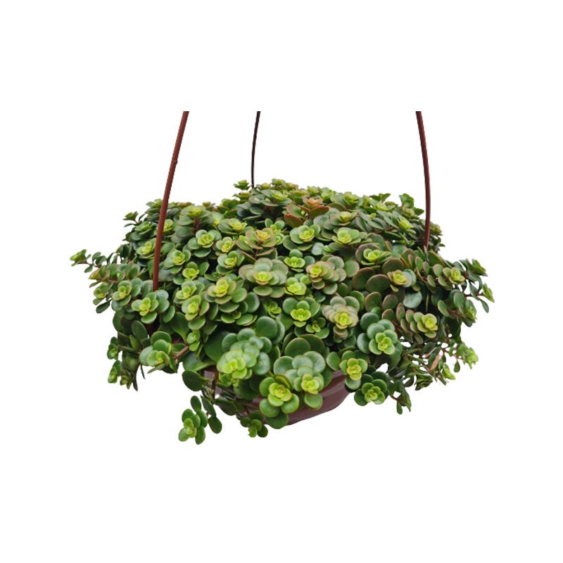 Sedum Tetractinum cuia 21 cm