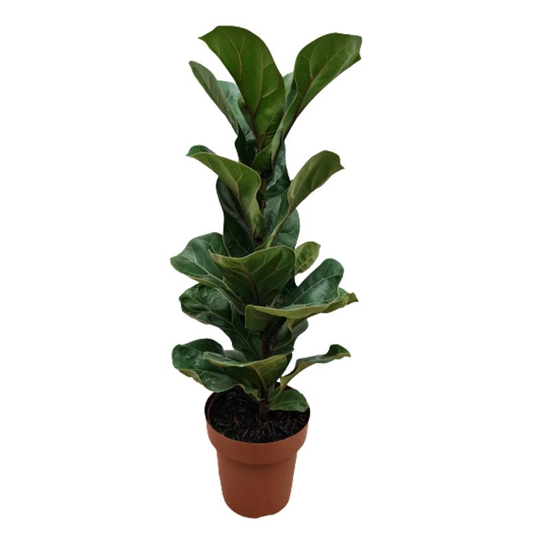Ficus Lyrata bambino pote 15 cm