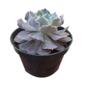 Echeveria Shaviana Pink pote 11