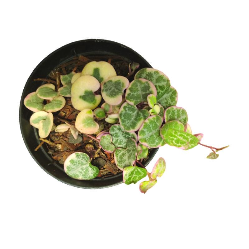 Coração Emaranhado variegata pote 9 cm