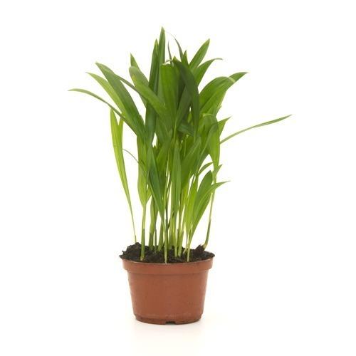 Palmeira Areca Bambu<br>pote 11 cm