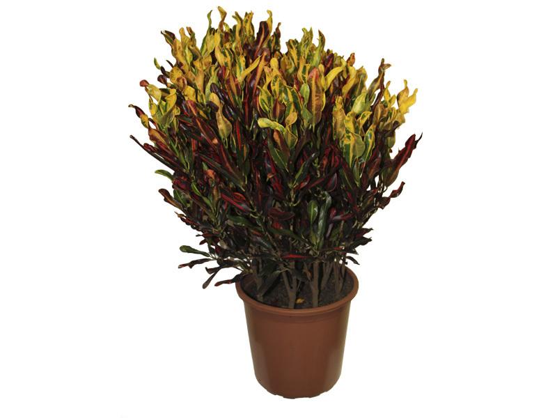 Croton Gingha<br>pote 24 cm