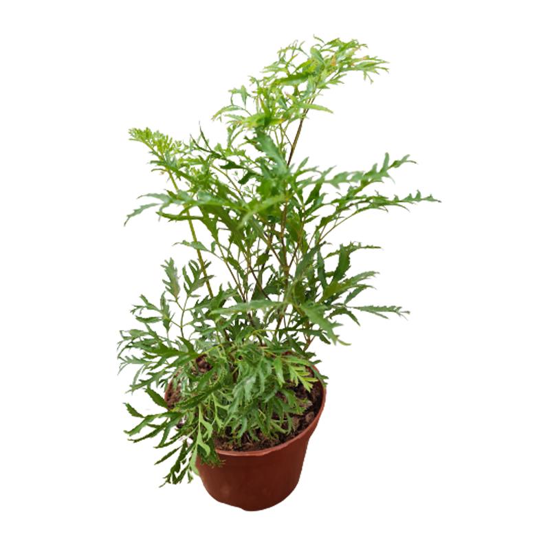 Árvore da Felicidade folha fina (fêmea) pote 11 cm