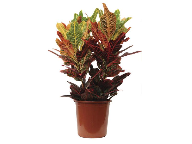 Croton Petra<br>pote 24 cm