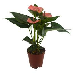 Mini Antúrio Rosa<br>pote 12 cm