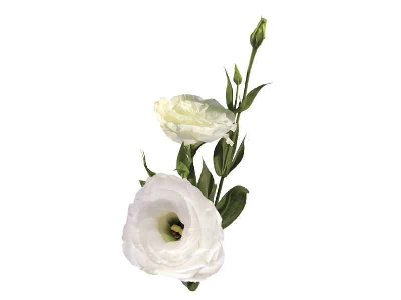 Lisianthus Branco<br>em maço de 70 cm