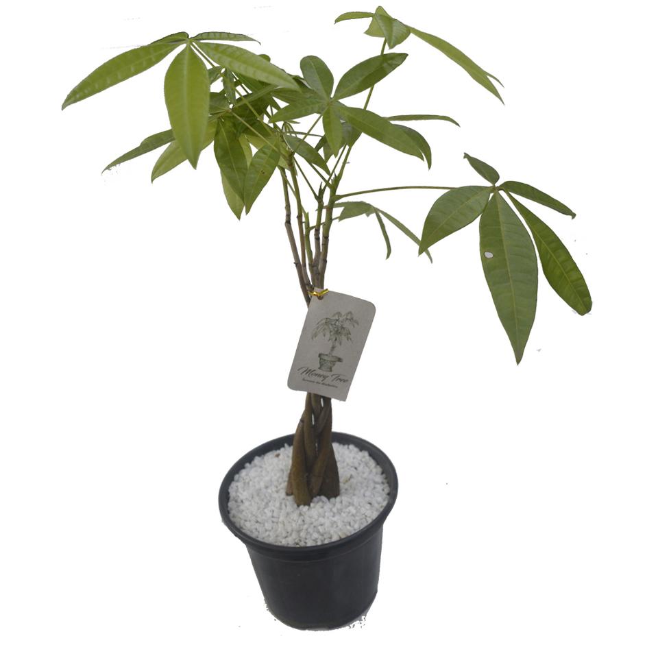 Money Tree pote 14 CM <br> Arvore do Dinheiro