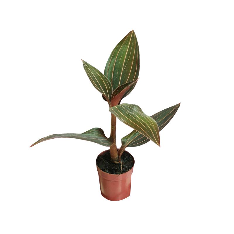 Orquídea Ludisia Discolor pote 6