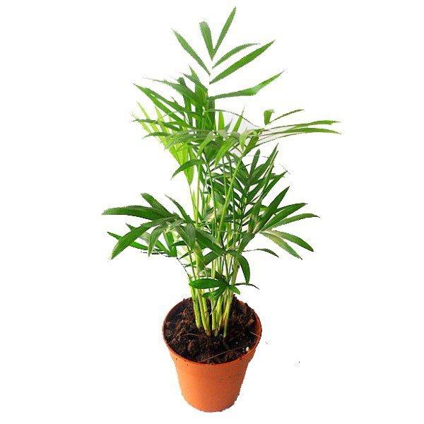 Palmeira Chamaedorea<br>pote 15 cm