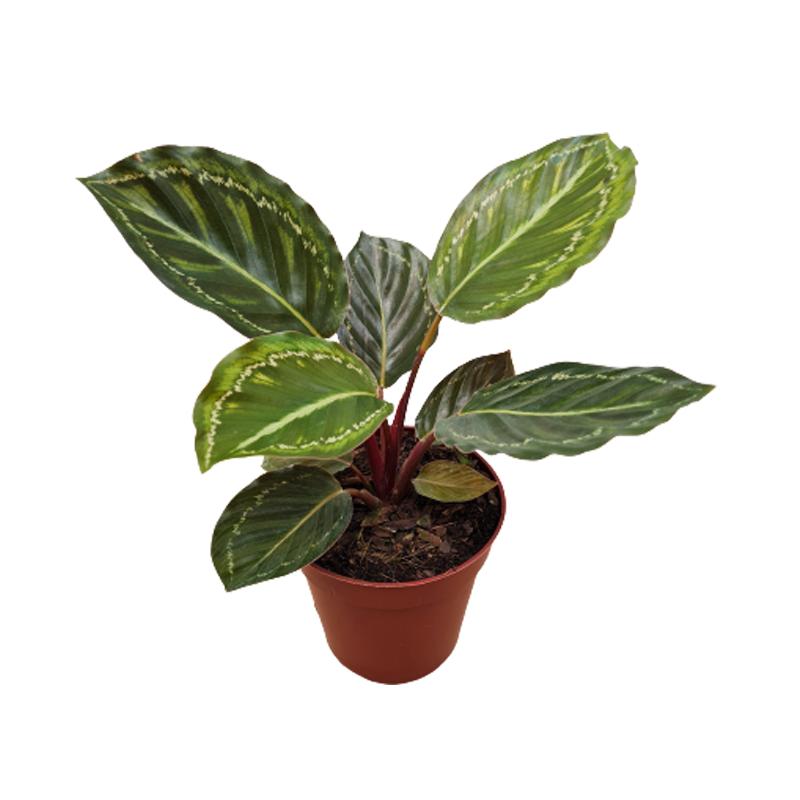 Calathea Jade pote 12 cm