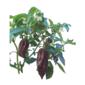 Pimenta Jolokia chocolate pote 14 cm