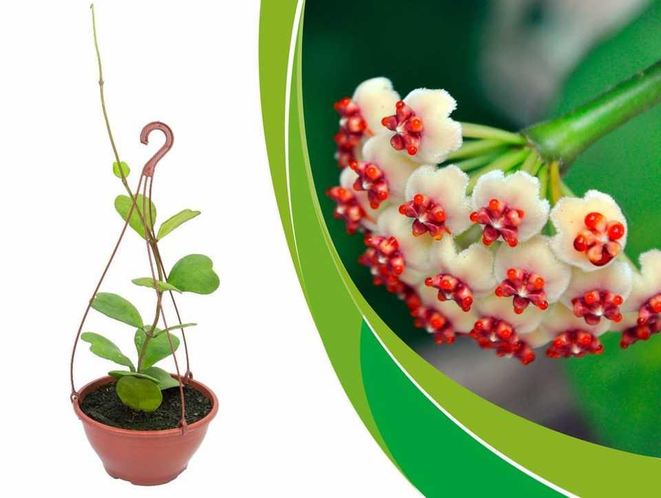 Flor de cera coração cuia 21 cm