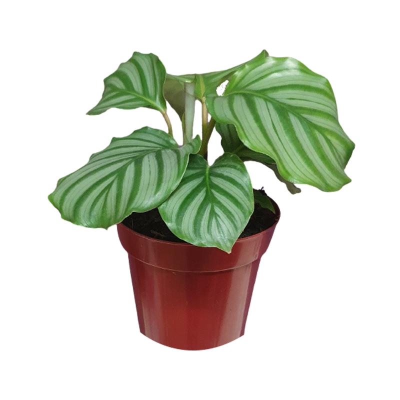 Calathea Orbifolia pote 12 cm