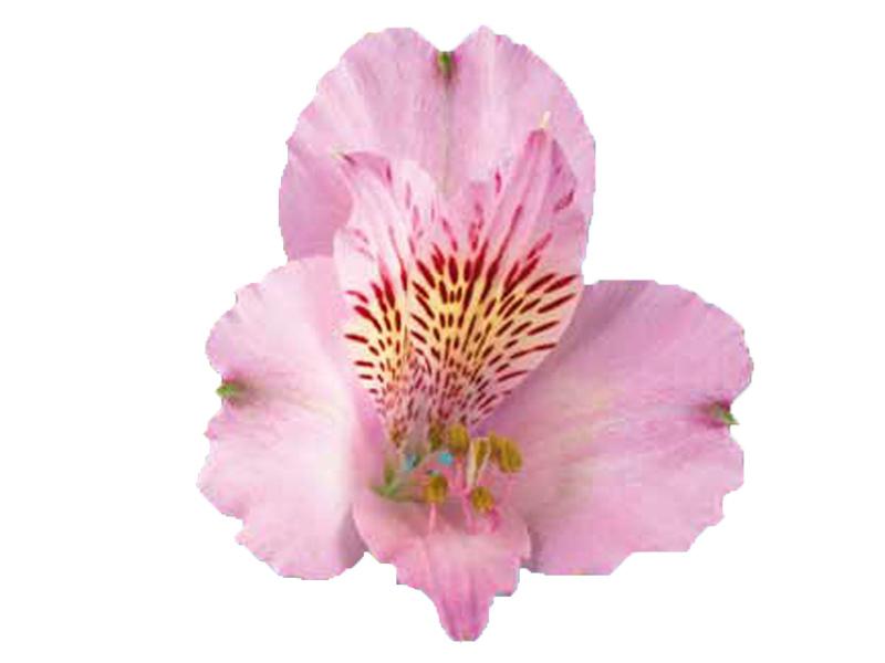 Alstroemeria Rosa 70 cm <br> maço com 10 hastes
