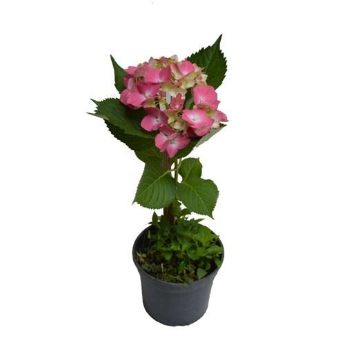 Hortênsia Rosa <br> pote 15 cm