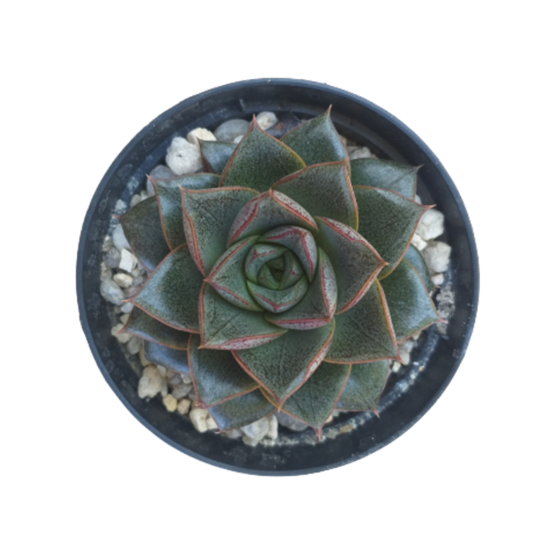Suculenta Echeveria Dionísio pote 11 cm