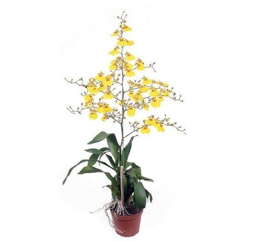 Orquídea Chuva de Ouro<br>pote 15 cm