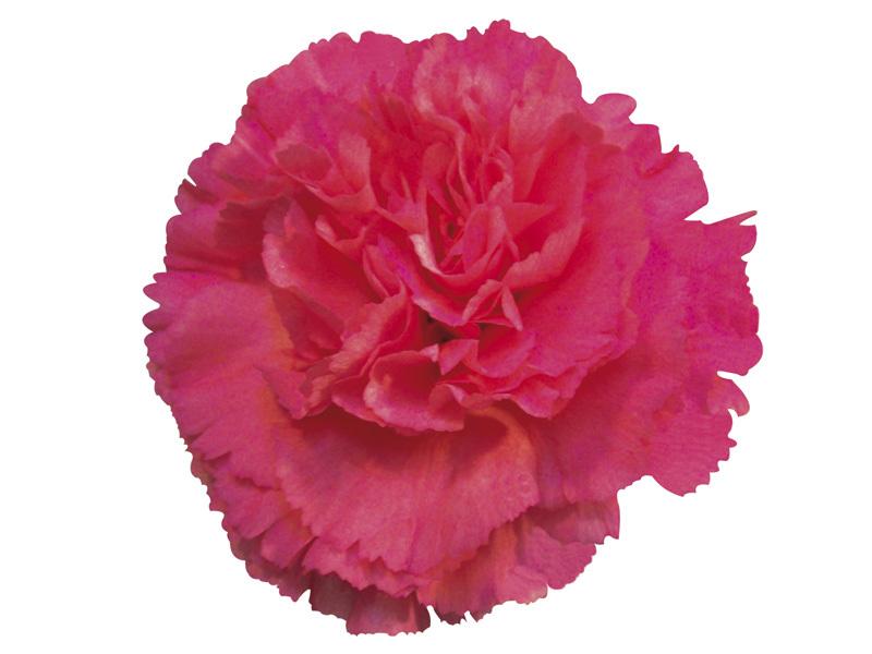 Cravo Pink 70 cm<br> maço com 24 hastes