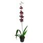Orquídea Odontoglossum <br>vinho pote 13 cm
