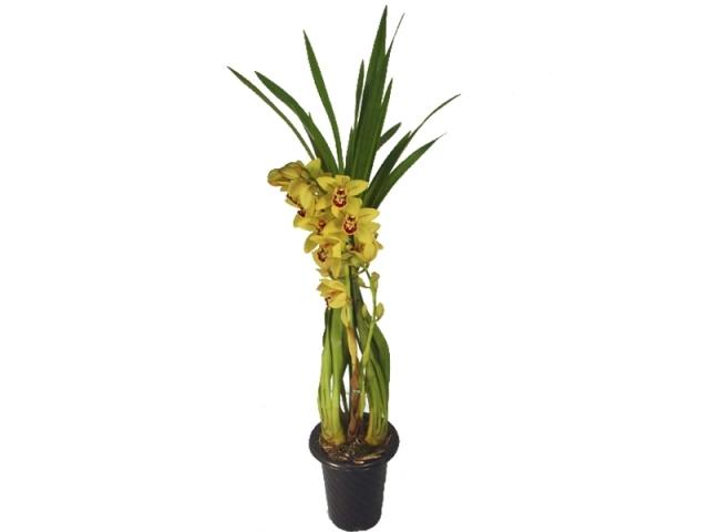 Orquídea Cimbídio Amarelo 2 hastes<br>pote 18 cm