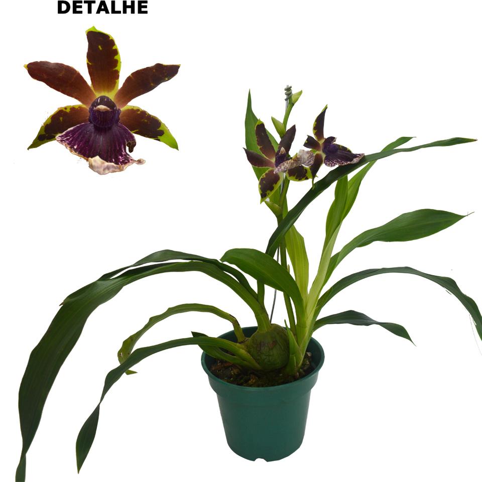 Orquídea  Zigopétalo>pote 12 cm