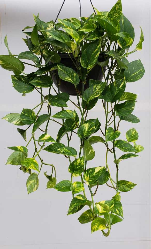 Resultado de imagem para jiboia planta