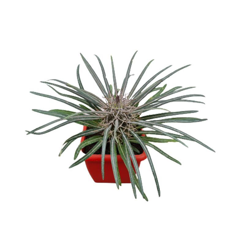 Palmeira de Madagascar pote 9 cm