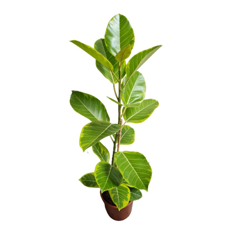 Ficus Altíssima pote 24 cm
