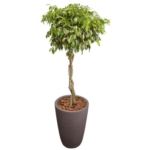 Arranjo de Ficus Variegata Trançado em Vaso de Polietileno. Selecione a cor: