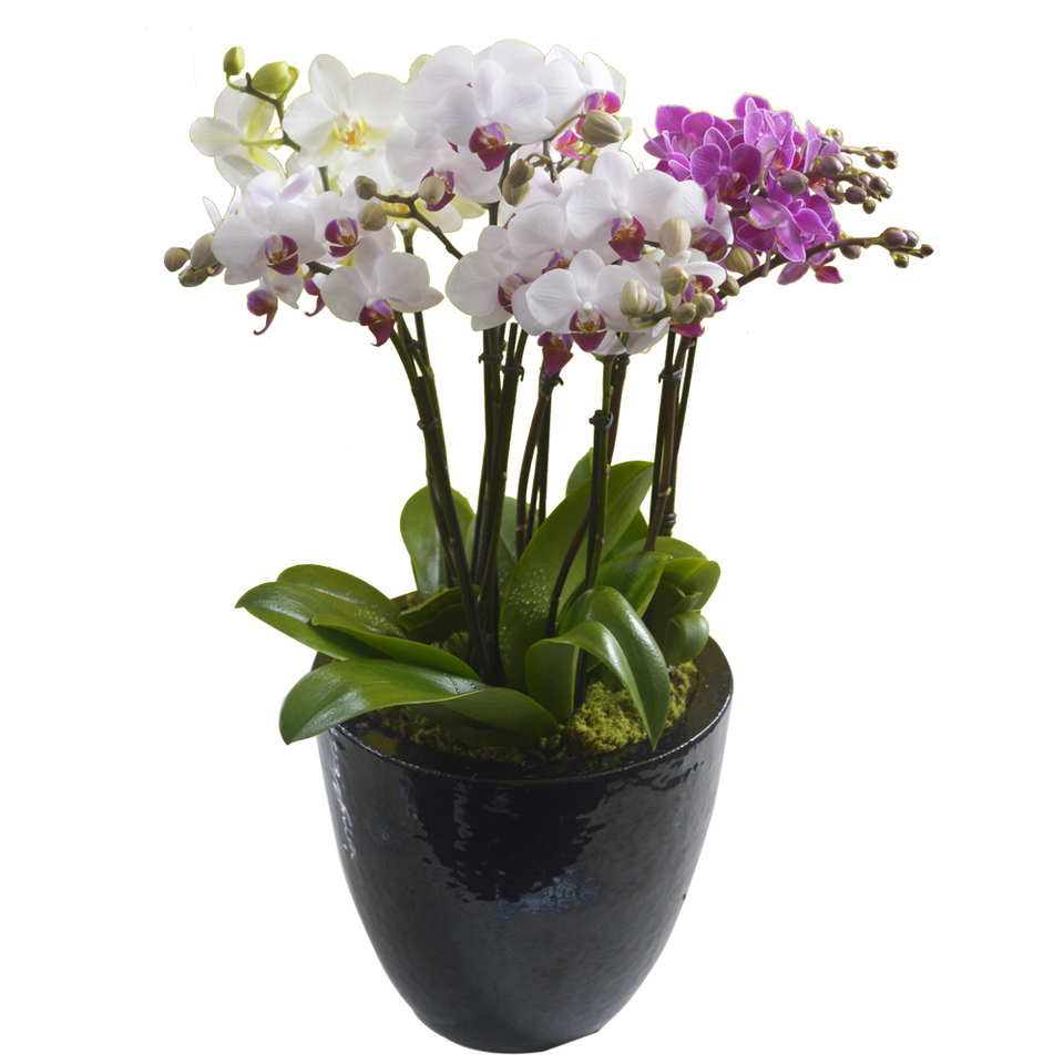 Arranjo mini phalaenopsis colorido