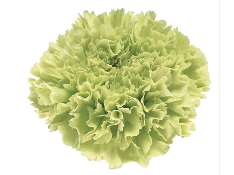 Cravo Verde 70 cm<br> maço com 24 hastes
