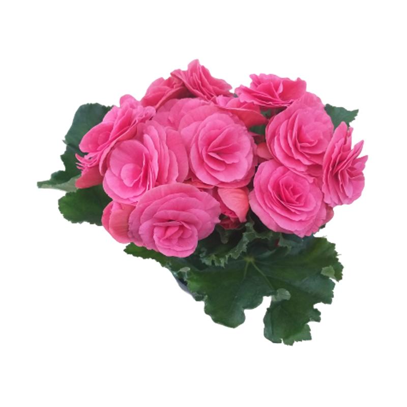Begonia rosa pote 11 cm