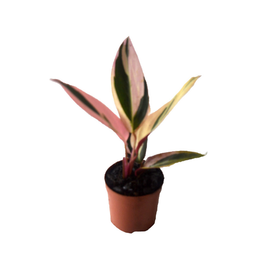 Maranta Tricolor<br>pote 06 cm