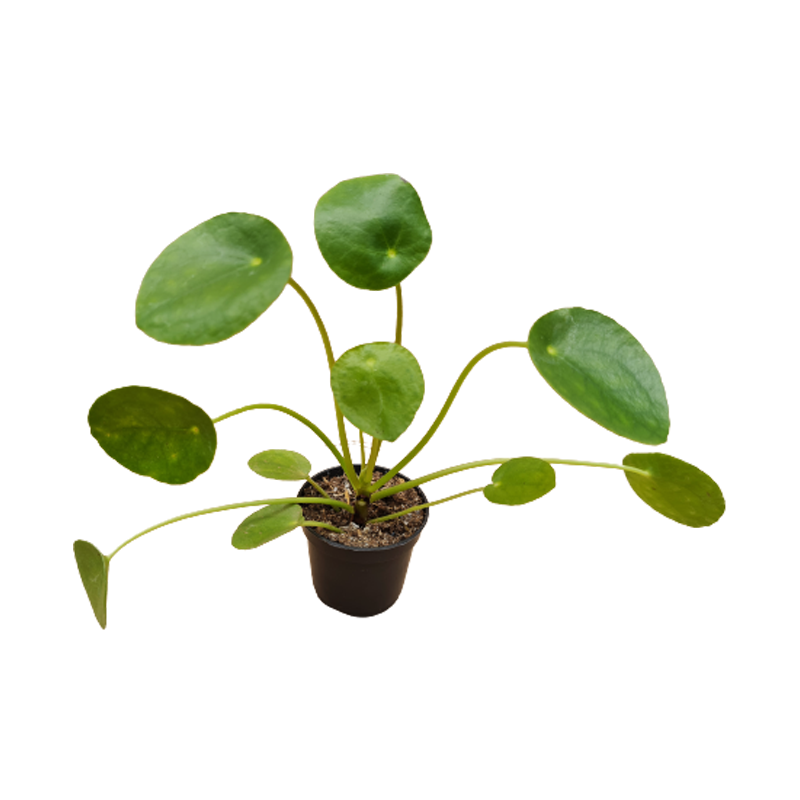 Pilea peperomioides  06 cm