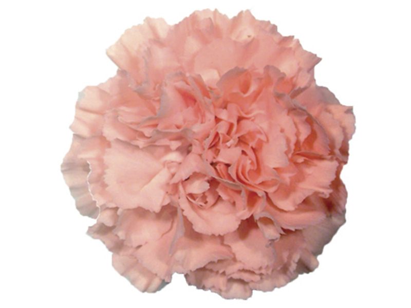 Cravo Rosa 70 cm<br> maço com 24 hastes