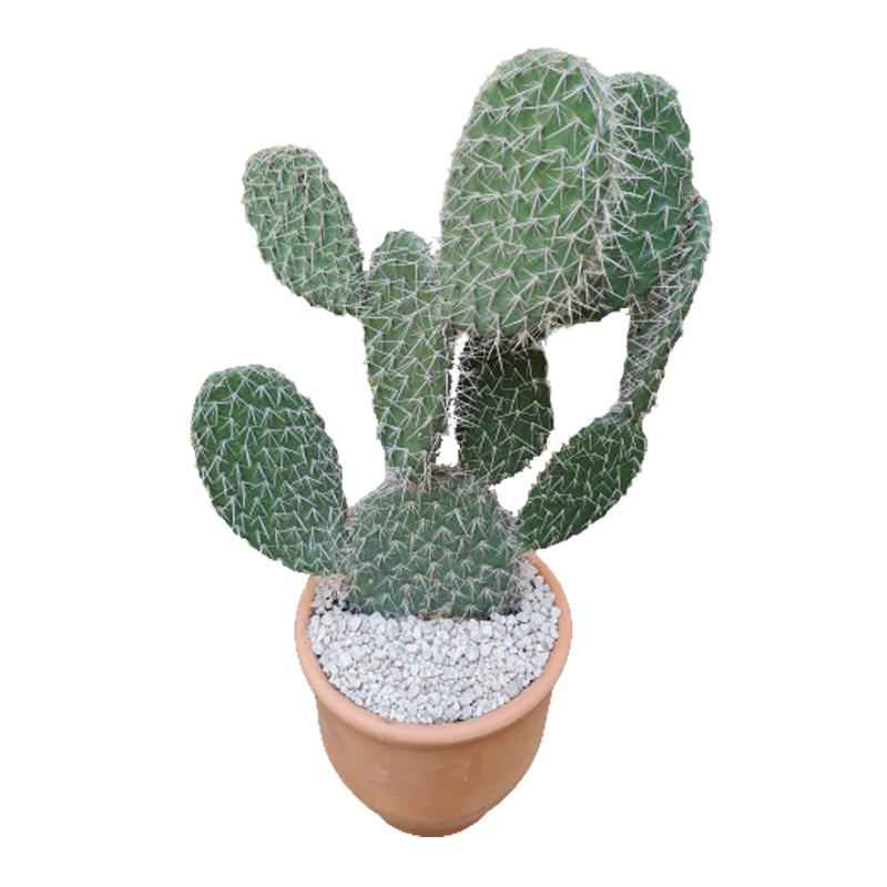 Cactus opuntia pailana pote 30 cm de barro
