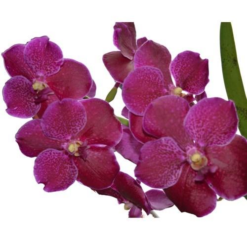 Orquídea Vanda Pink