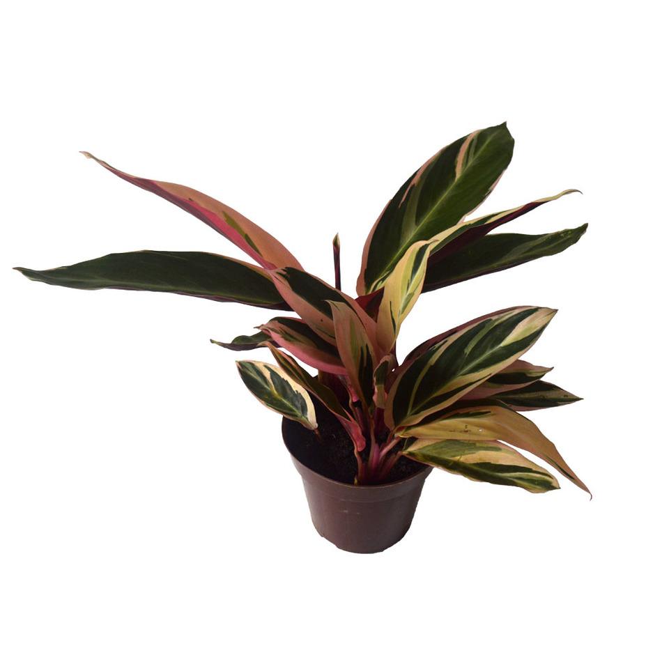 Maranta Tricolor<br>pote 12 cm