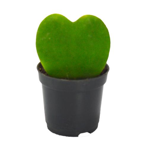 Suculenta Coração<br> pote 11 cm