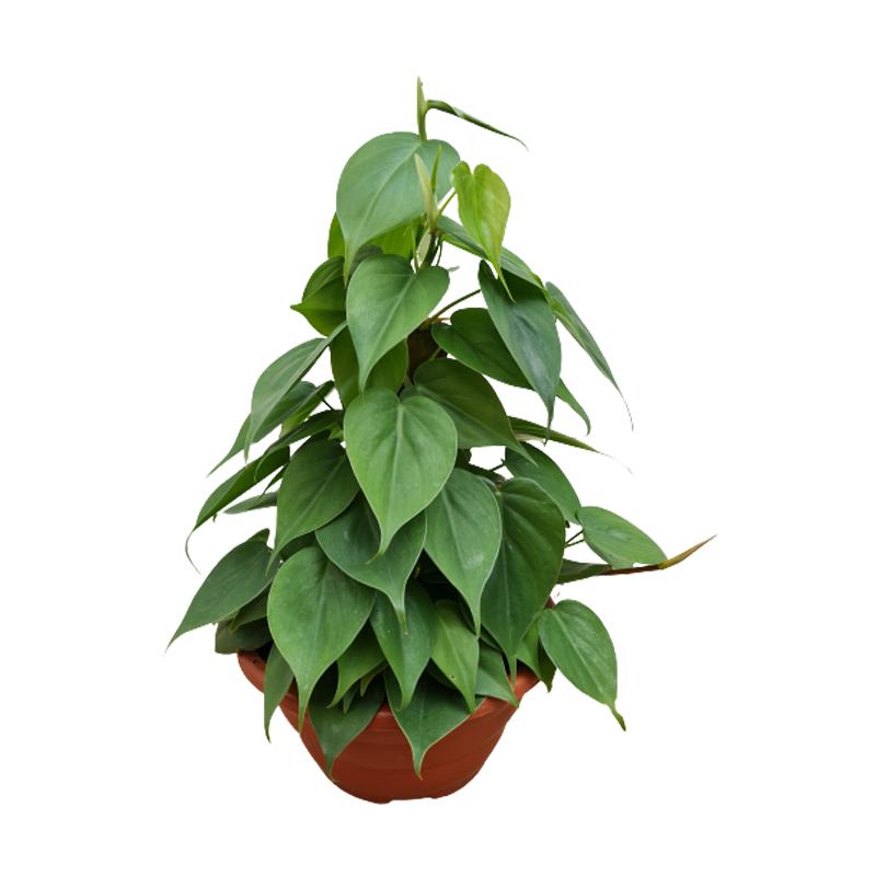 Filodendro verde cuia 21 cm com tutor