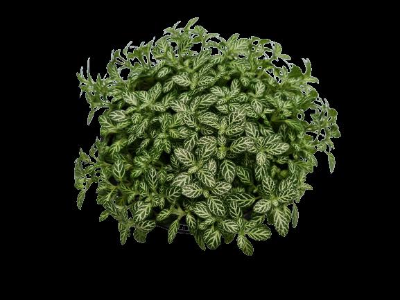 Fitonia folha fina cuia 13 cm