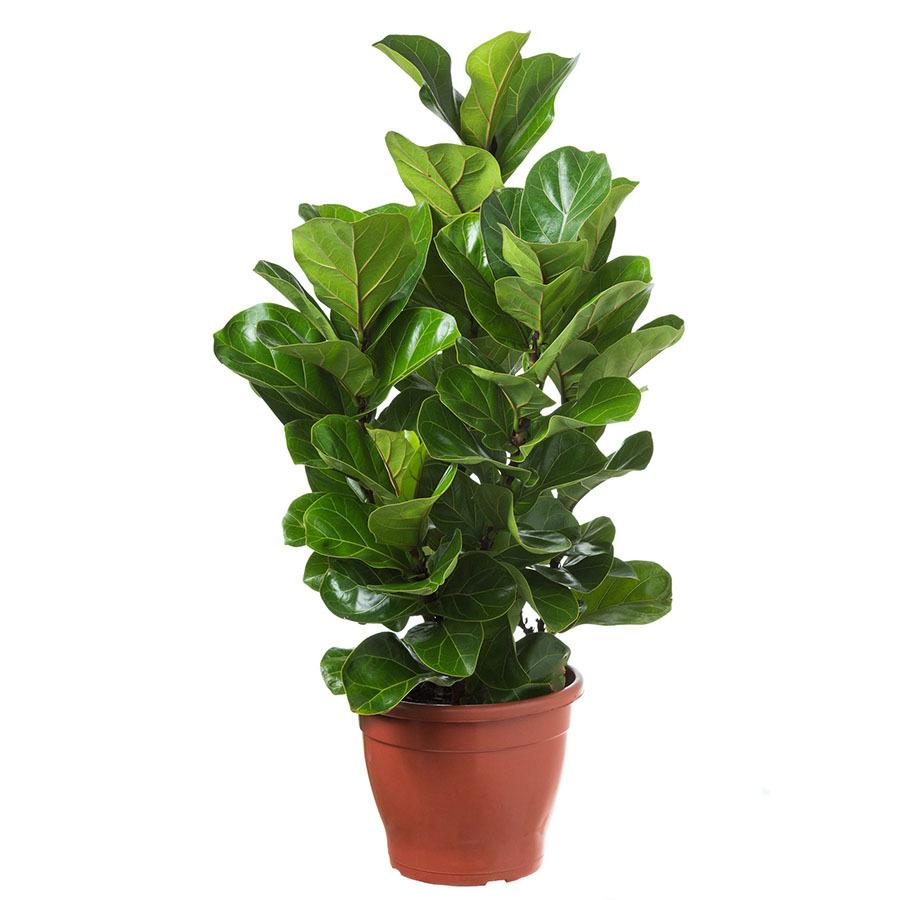 Ficus Lyrata Bambino<br>pote 30 cm