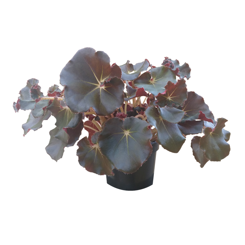 Begonia Jungle Black pote 15