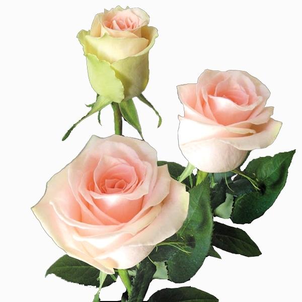 Rosa Peach Avalanche 40 cm <br>maço com 18 hastes